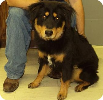 Collie/Shepherd (Unknown Type) Mix Dog for adoption in Mt. Vernon, Illinois - Sheba