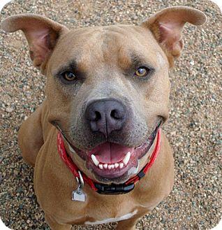 Pit Bull Terrier Dog for adoption in Chino Valley, Arizona - Duke