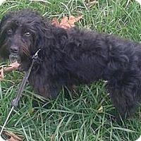 Adopt A Pet :: Indie - cameron, MO