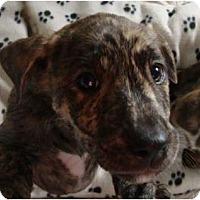 Adopt A Pet :: Connecticut - one blue eye - Phoenix, AZ