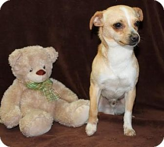 Chihuahua Mix Puppy for adoption in Newark, New Jersey - Emerald