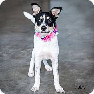 Jack Russell Terrier Mix Puppy for adoption in Naperville, Illinois - Mariah