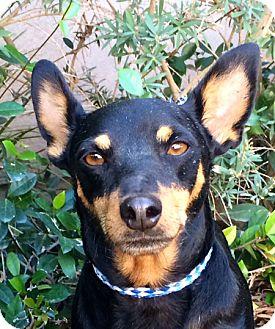 Miniature Pinscher Dog for adoption in Irvine, California - ROMEO