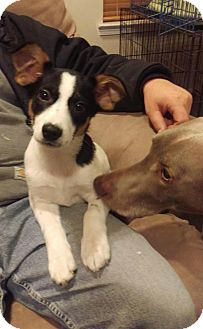 Rat Terrier/Terrier (Unknown Type, Small) Mix Puppy for adoption in Northville, Michigan - Puppy Hiccup