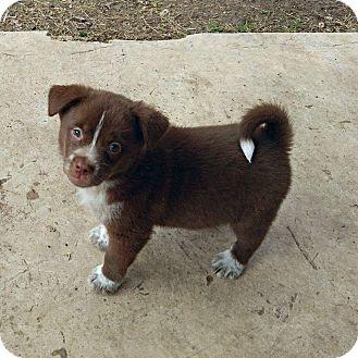 Australian Cattle Dog/Border Collie Mix Puppy for adoption in Redmond, Washington - Buzz