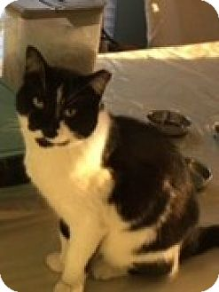 Domestic Shorthair Cat for adoption in McHenry, Illinois - Sid