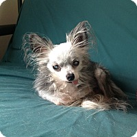 Chihuahua Mix Dog for adoption in Milton, Florida - Possum