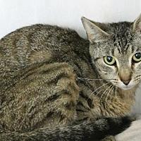 Domestic Shorthair Cat for adoption in Hilton Head, South Carolina - Dolphin