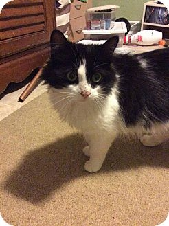 Domestic Mediumhair Cat for adoption in Queensbury, New York - Cocoabell