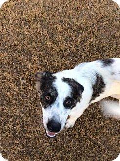 Australian Shepherd Mix Dog for adoption in Mesa, Arizona - TROOPER