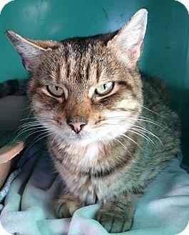 Domestic Shorthair Cat for adoption in Breinigsville, Pennsylvania - Nestle
