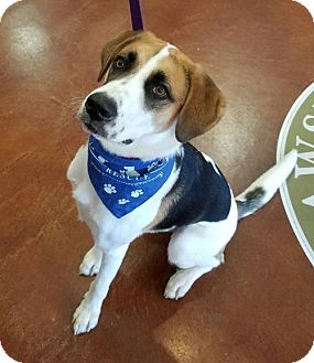 Hound (Unknown Type)/Collie Mix Dog for adoption in Potomac, Maryland - Beau