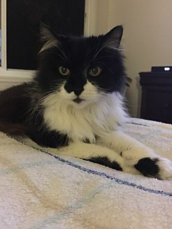 Domestic Longhair Cat for adoption in San Clemente, California - SCARLET