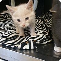 Adopt A Pet :: Chaos - Chippewa Falls, WI