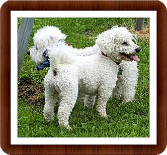 Bichon Frise Dog for adoption in Tulsa, Oklahoma - Adopted!! Dawson - IN