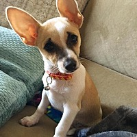 Chihuahua/Terrier (Unknown Type, Medium) Mix Puppy for adoption in Dallas, Texas - Milo