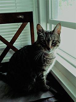 Domestic Shorthair Cat for adoption in White Lake, Michigan - Lea