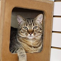 Domestic Shorthair Cat for adoption in Fresno, California - Bobby