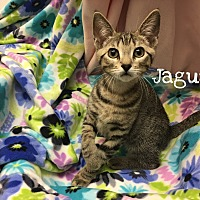Adopt A Pet :: Jaguar - Foothill Ranch, CA