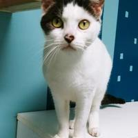 Domestic Shorthair/Domestic Shorthair Mix Cat for adoption in Grand Island, Nebraska - Sally