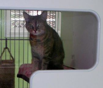 Domestic Shorthair/Domestic Shorthair Mix Cat for adoption in Muskegon, Michigan - shirley