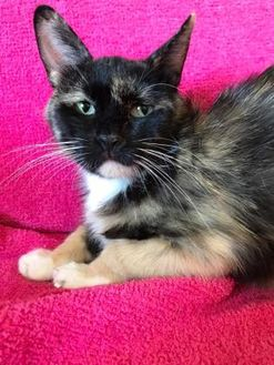 Domestic Shorthair/Domestic Shorthair Mix Cat for adoption in Maryville, Missouri - Sativa