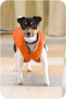 Jack Russell Terrier Dog for adoption in Portland, Oregon - Patches