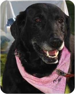 Labrador Retriever Mix Dog for adoption in Okotoks, Alberta - Lucie