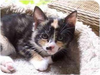 Calico Kitten for adoption in Elk Grove, Illinois - Annabelle