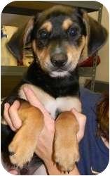 German Shepherd Dog Mix Puppy for adoption in Hammonton, New Jersey - baxter