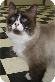 Siamese Cat for adoption in Republic, Washington - Miso