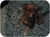Chihuahua Mix Puppy for adoption in Yelm, Washington - Candy