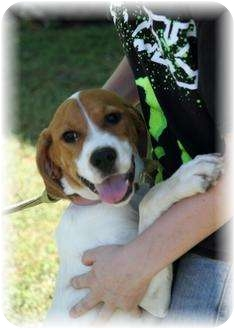 Coonhound (Unknown Type)/Pointer Mix Puppy for adoption in Comanche, Texas - Trixie