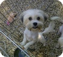 Maltese/Havanese Mix Dog for adoption in St. Petersburg, Florida - Penelope