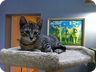 Domestic Shorthair Kitten for adoption in St. Louis, Missouri - Blinky