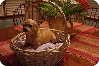 Chihuahua Mix Dog for adoption in Sinking Spring, Pennsylvania - Cole