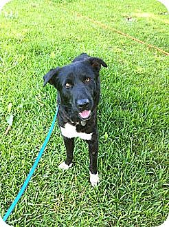 Border Collie/Labrador Retriever Mix Dog for adoption in Baton Rouge, Louisiana - White Sox