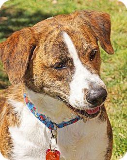 Newfoundland/Boxer Mix Dog for adoption in Sedona, Arizona - Kira-urgent!