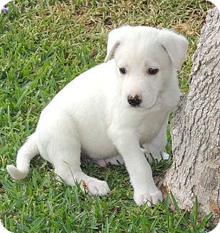 Labrador Retriever/German Shepherd Dog Mix Puppy for adoption in La Habra Heights, California - Conn