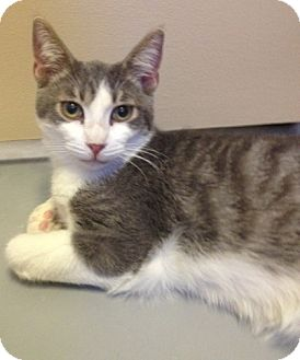Domestic Shorthair Kitten for adoption in Fountain Hills, Arizona - SYLVESTER
