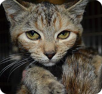 Domestic Shorthair Kitten for adoption in Manahawkin, New Jersey - Kitten Molly