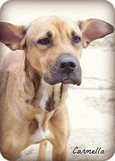 Hound (Unknown Type)/Shepherd (Unknown Type) Mix Dog for adoption in Poland, Ohio - CARMELLA // 3 (RESCUED)