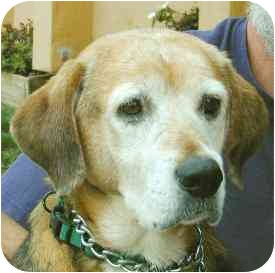 Foxhound Mix Dog for adoption in Berkeley, California - Dory