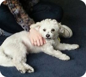 Maltese Mix Dog for adoption in Rancho Mirage, California - Willie