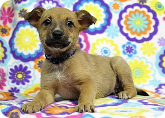 Shepherd (Unknown Type) Mix Puppy for adoption in Westminster, Colorado - Halfpint