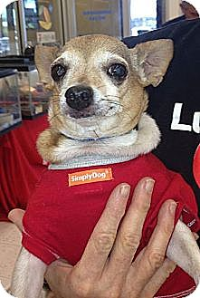 Chihuahua Mix Dog for adoption in Scottsdale, Arizona - Sam CUTE AND TINY