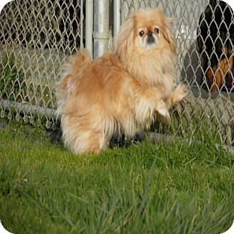 Pekingese Dog for adoption in Reedsport, Oregon - Luci Lu