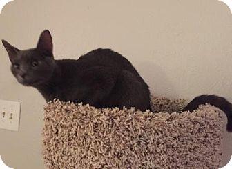 Domestic Shorthair Cat for adoption in Houston, Texas - Fritz