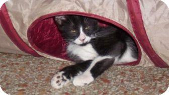Domestic Mediumhair Kitten for adoption in Seminole, Florida - Soxx