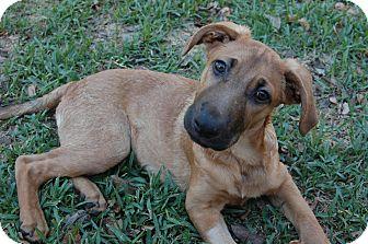 Black Mouth Cur/Shepherd (Unknown Type) Mix Dog for adoption in Austin, Texas - Banjo